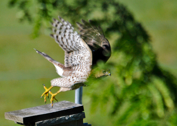 "<div class=""jaDesc""> <h4>Juvenile Sharp-shinned Hawk Take-off - September 6, 2013</h4> <p>This juvenile Sharp-shinned Hawk has very nice take-off form.  They really thrust themselves forward for that initial burst of speed. </p> </div>"