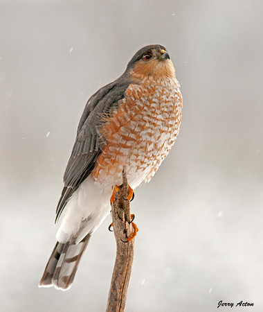 "<div class=""jaDesc""> <h4> Sharp-shinned Hawk Fluffed - February 10, 2010</h4> <p> This female Sharp-shinned Hawk had her feathers fluffed against the bitter cold snowy wind.  Hunting can get difficult for them when there is alot of snow on the ground.</p> </div>"