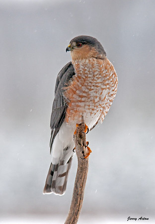 "<div class=""jaDesc""> <h4> Sharp-shinned Hawk Front View - February 10, 2010</h4> <p> Today I finally got lots of shots of the Sharp-shinned Hawk that has been making runs on our feeder area.  I think she is very hungry because she perched right in the yard for about 5 minutes, something she does not usually do.</p> </div>"