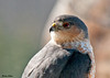 "<div class=""jaDesc""> <h4> Adult Sharp-shinned Hawk Close-up - February 21, 2010</h4> <p>When I looked up from my computer keyboard, this gal was right in front of me on a perch about 10 feet away. </p> </div>"