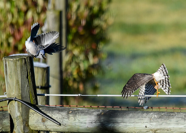 "<div class=""jaDesc""> <h4>Juvenile Sharp-shinned Hawk Takes Off - October 17, 2017</h4> <p>The juvenile Sharp-shinned Hawk was improving her technique by taking off away from the Blue Jay to try and fake him out.</p> </div>"