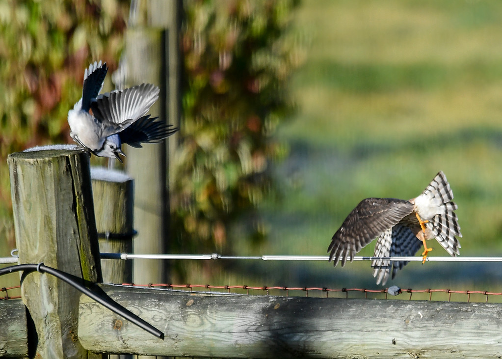 """<div class=""""jaDesc""""> <h4>Juvenile Sharp-shinned Hawk Takes Off - October 17, 2017</h4> <p>The juvenile Sharp-shinned Hawk was improving her technique by taking off away from the Blue Jay to try and fake him out.</p> </div>"""