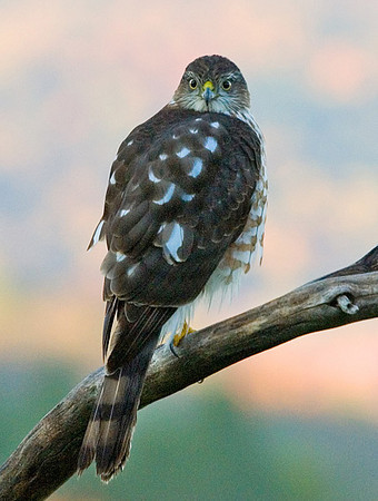 """<div class=""""jaDesc""""> <h4> Sharp-shinned Hawk Back View - October 20, 2007</h4> <p> A Sharp-shinned Hawk will stop in at our bird feeder area once in awhile. I love the intensity in their eyes. Fortunately they have never been successful in getting a songbird meal in my feeder areas.</p> </div>"""