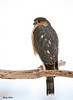 "<div class=""jaDesc""> <h4> Sharp-shinned Hawk Side View - February 10, 2010</h4> <p> It was amazing to see her turn her head almost a full 360 degrees while scanning right and left.</p> </div>"