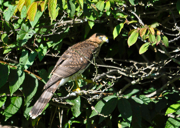 "<div class=""jaDesc""> <h4>Frustrated Juvenile Sharp-shinned Hawk - September 6, 2013</h4> <p>He moved around through 3 different bushes before flying off.  It takes the juveniles awhile to learn how to hunt.</p> </div>"