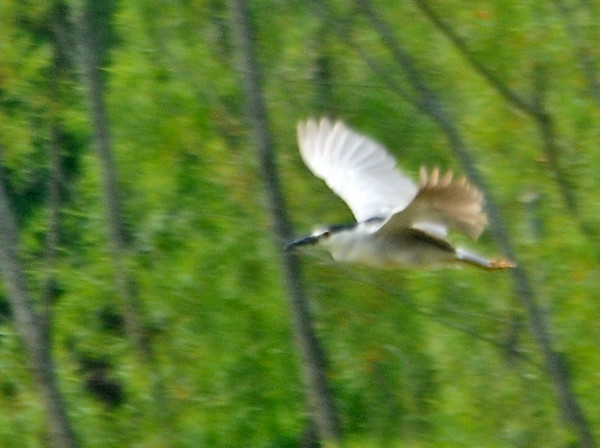 "<div class=""jaDesc""> <h4>Black-crowned Night Heron In-flight - July 8, 2014</h4> <p> This Black-crowned Night Heron flew across the Octorara Reservoir in Lancaster County, PA about 100 yards away from my location.  I could not identify what it was until I pulled it up on my computer.  Not a very good photo, but it is a first for me.  I'll have to work on getting  a closer opportunity.</p> </div>"