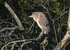 "<div class=""jaDesc""> <h4>Juvenile Black-crowned Night Heron on Perch #2 - November 9, 2016</h4> <p> After about 10 minutes, this juvenile Black-crowned Night Heron moved to another perch a bit farther from the road where I was standing.  Chincoteague Wildlife Preserve in Northern VA.</p> </div>"