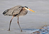 "<div class=""jaDesc""> <h4> Great Blue Heron Ready to Fish - March 31, 2014 </h4> <p> This Great Blue Heron was moving off the ice into the water to fish.  Taken at the main pool at Montezuma NWR.</p> </div>"