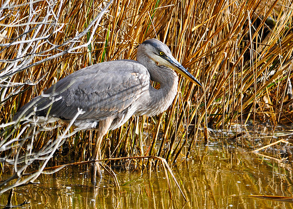 "<div class=""jaDesc""> <h4> Great Blue Heron Hunting - December 16, 2014 </h4> <p> This Blue Heron was tucked against tall grass in the stream beside the road.  Chincoteague Wildlife Reserve, VA.</p> </div>"