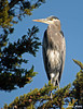 "<div class=""jaDesc""> <h4> Great Blue Heron Perched in Pine Tree - November 3, 2009 </h4> <p>This Great Blue Heron was perched in a big old pine tree along with 2 Great White Egrets.  He was there for over half an hour grooming and napping.  Photo taken by Monterey Bay, CA.</p> </div>"
