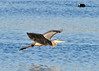 "<div class=""jaDesc""> <h4> Great Blue Heron In-flight - November 6, 2013 </h4> <p> A Great Blue Heron was not finding any fish at his current location, so he decided to move to another spot.</p> </div>"
