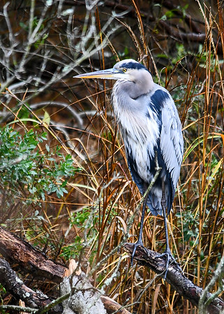 "<div class=""jaDesc""> <h4> Colorful Great Blue Heron on Branch - November 13, 2018 </h4> <p>This Great Blue Heron was resting on a perch by a stream at Chincoteague Wildlife Reserve, VA.</p> </div>"