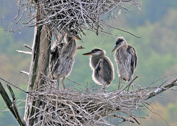 "<div class=""jaDesc""> <h4> Great Blue Heron Nest - June 4, 2010</h4> <p>  The Great Blue Heron chicks are standing up walking around the nest when a parent in not there.  When the adult arrives, they all bob their heads up and down begging to be fed.</p> </div>"