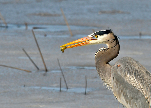 "<div class=""jaDesc""> <h4> Blue Heron with Fish - March 31, 2014 </h4> <p> There was still quite a bit of ice on the main pool at Montezuma NWR, but a pair of Great Blue Herons were finding enough open water to fish.</p> </div>"