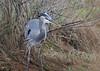 "<div class=""jaDesc""> <h4> Great Blue Heron Close-up - November 10, 2015 </h4> <p> Chincoteague Wildlife Reserve, VA.</p> </div>"