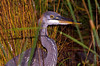 "<div class=""jaDesc""> <h4> Great Blue Heron Hunting - October 16, 2008 </h4> <p>This Great Blue Heron visited our water garden pond every morning for several weeks.  I never saw him catch any of our goldfish, so I would not mind if he drops by again.</p> </div>"