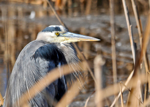 "<div class=""jaDesc""> <h4> Great Blue Heron Close-up - November 6, 2013 </h4> <p> Normally these guys are very spooky, but this Great Blue Heron let me get very close.  I was in my truck with the window down and pulled up right beside him. Bombay Hook NWR, Delaware</p> </div>"