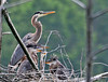 "<div class=""jaDesc""> <h4> Great Blue Heron in Nest with Chicks - June 4, 2010 - Video Attached</h4> <p>When the adult Great Blue Heron arrives at the nest, the 5 chicks get all excited and start cackling. To try to impress mom and get her attention for food, they move their heads up and down and increase their cackle volume.</p> </div> </br> <center> <a href=""http://www.youtube.com/watch?v=vn3tCowryOE"" class=""lightbox""><img src=""http://d577165.u292.s-gohost.net/images/stories/video_thumb.jpg"" alt=""""/></a> </center>"