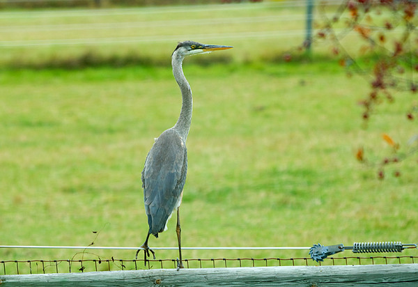 "<div class=""jaDesc""> <h4> Great Blue Heron on Fence - October 14, 2008 </h4> <p> I have never been able to get a photo of the Great Blue Herons that visit our yard before spooking them.  Today this guy was very bold as long as I stayed at a distance.  He was very intent on finding a way to get at the goldfish in our backyard pond.</p> </div>"