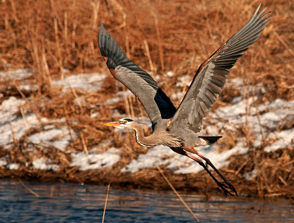 "<div class=""jaDesc""> <h4> Great Blue Heron Take-off - March 27, 2011 </h4> <p>Another photographer trying to get too close spooked this Great Blue Heron out of her hunting spot. While she was slow to lift off, she picked up speed quickly as she flew right by me.</p> </div>"