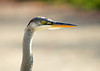 "<div class=""jaDesc""> <h4> Great Blue Heron Close-up - October 15, 2008 </h4> <p> The Great Blue Heron had his neck fully extended for this close-up shot.  His eye is so intense and that beak is quite a weapon when he stabs at a fish with lightning speed.</p> </div>"