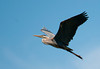 "<div class=""jaDesc""> <h4> Great Blue Heron In-flight - June 27, 2012 </h4> <p> This Great Blue Heron had just made a food drop-off at her nest and was headed back out to get another meal for her second youngster.</p> </div>"
