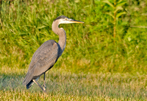 "<div class=""jaDesc""> <h4> Great Blue Herons Lands in Horse Pasture - July 16, 2014 </h4> <p> We frequently see Great Blue Herons flying by up high on their way to the wetlands east of us.  This evening, two of them did a low pass through our backyard and landed in our horse pasture.  I think they may have been checking out our water garden.</p> </div>"