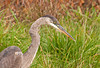 "<div class=""jaDesc""> <h4> Great Blue Heron Hunting in Roadside Ditch - October 28, 2011 </h4> <p> This guy flew off twice as I stopped on the opposite shoulder of the road to get a shot, but returned to the same spot each time I drove off. So I kept turning around and coming back until he stayed put for a few shots.</p> </div>"
