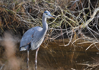 """<div class=""""jaDesc""""> <h4> Great Blue Heron Watching Me - December 16, 2014 </h4> <p> This is one of four different Great Blue Herons I watched hunting as I drove around Chincoteague Island.</p> </div>"""