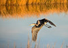 """<div class=""""jaDesc""""> <h4> Great Blue Heron Taking Off - November 8, 2016 </h4> <p> This Great Blue Heron exploded from the high grass right in front of me.  She was so well hidden, I did not know she was there.  Bombay Hook Wildlife Reserve, DE.</p> </div>"""