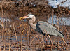 "<div class=""jaDesc""> <h4> Great Blue Heron Catches Fish - March 27, 2011 </h4> <p>Once this Great Blue Heron found her target fish, the strike was lightening fast. Then with a quick flip of the head, she swallowed the little catch easily.</p> </div>"