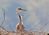 "<div class=""jaDesc""> <h4> Great Blue Heron Chick in Top Nest - June 4, 2010 </h4> <p>This Great Blue Heron chick was in the very top nest just above the nest with 5 chicks. He did not seem to mind that he was all by himself. An adult would land on a branch next to him periodically.</p> </div>"