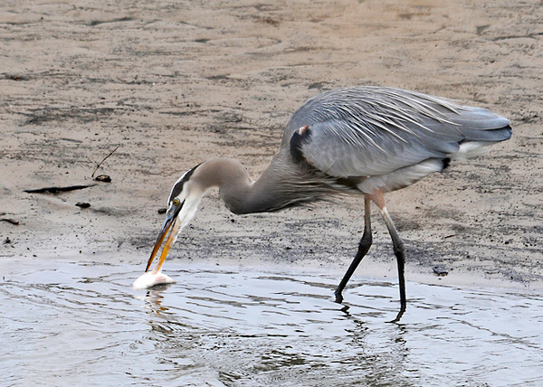 "<div class=""jaDesc""> <h4> Great Blue Heron Washes Fish - November 12, 2013 </h4> <p> The Great Blue Heron rinsed the fish off several times.</p> </div>"