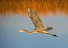 "<div class=""jaDesc""> <h4> Great Blue Heron In-flight Wings Up - November 8, 2016 </h4> <p>Bombay Hook Wildlife Reserve, DE.</p> </div>"