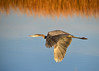 "<div class=""jaDesc""> <h4> Great Blue Heron In-flight Wings Down - November 8, 2016 </h4> <p>She was flying along a tidal stream to find another hunting spot.  Bombay Hook Wildlife Reserve, DE.</p> </div>"