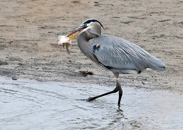 "<div class=""jaDesc""> <h4> Great Blue Heron Catches Fish - November 12, 2013 </h4> <p> This Great Blue Heron had just speared a fish in the tidal ditch along the road in Bombay Hook NWR in Delaware.  He was showing it off as he strutted along in the shallow water.</p> </div>"