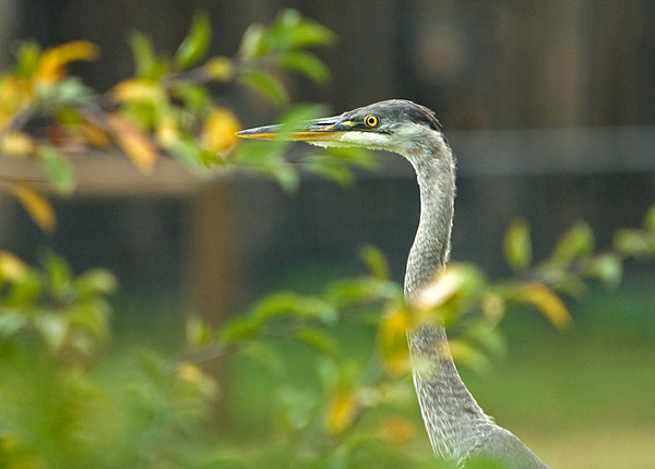 "<div class=""jaDesc""> <h4> Great Blue Heron in Backyard - October 14, 2008 </h4> <p> Here the Great Blue Heron flew into a closer spot in our yard where he was partially hidden by a fruit tree.</p> </div>"