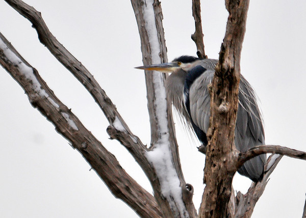 "<div class=""jaDesc""> <h4> Great Blue Heron Resting in Tree - December 12, 2014 </h4> <p> When Great Blue Herons are not fishing, they often roost in trees.  Bombay Hook NWR, Delaware.</p> </div>"