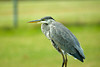 "<div class=""jaDesc""> <h4> Great Blue Heron with Head Tucked - October 14, 2008 </h4> <p> The Great Blue Heron saw something off to the left and rapidly tucked its head and neck ready to take off if necessary.</p> </div>"