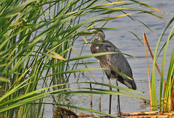 "<div class=""jaDesc""> <h4> Great Blue Heron Hiding - September 2, 2011 </h4> <p>I almost did not see this Great Blue Heron as I drove by. He was really well hidden among the reeds.</p> </div>"