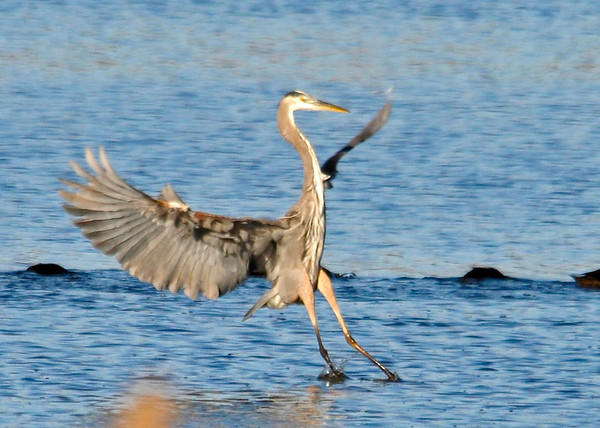 "<div class=""jaDesc""> <h4> Great Blue Heron Landing - November 6, 2013 </h4> <p> This looked like a better spot to fish.</p> </div>"