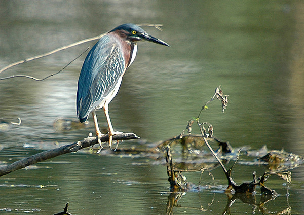 "<div class=""jaDesc""> <h4> Green Heron Relaxing - July 2006 </h4> <p> Perched on a branch along the side of a large pond, this Green Heron was taking a break from hunting fish.</p> </div>"