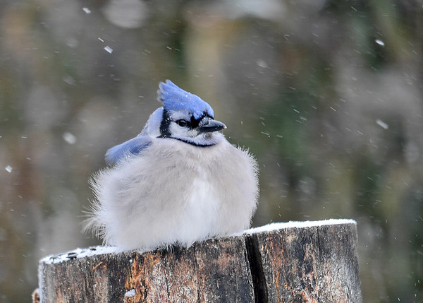 "<div class=""jaDesc""> <h4>Blue Jay Staying Warm - January 8, 2017</h4> <p>When the wind chill is -10F, the birds struggle to keep their unprotected legs and claws warm.  This Blue Jay covered hers up under her fluffed feathers to warm them up a bit.  Birds of this size can have more than 2000 feathers to fluff for warmth.</p> </div>"