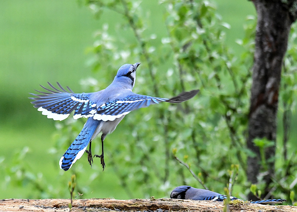 """<div class=""""jaDesc""""> <h4>Blue Jay Take-off - May 5, 2017</h4> <p>I was lucky to get this shot of a Blue Jay leaving the feeder log.  The feather color patterns are very interesting.</p> </div>"""