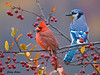 """<div class=""""jaDesc""""> <h4>Cardinal is Boss - October 17, 2009 </h4> <p>  This Cardinal refused to move off his perch despite two aggressive low passes by the Blue Jay to dislodge him.  So I had to get a photo of his victory.</p> </div>"""