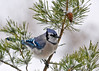 "<div class=""jaDesc""> <h4> Blue Jay in Snowy Red Pine - December 10, 2014 </h4> <p>Here is one of our 30 Blue Jays in a snow storm.  Once they have collected all the un-shelled peanuts I toss on the driveway, they come in and tank up on sunflower seeds.</p> </div>"