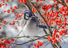 "<div class=""jaDesc""> <h4>Blue Jay in Winterberry Bush - December 13, 2017</h4> <p>This Blue Jay was perched in the middle of one of our winterberry bushes trying to stay warm in the sub-zero wind chill.  He found a sunny spot and fluffed his feathers.</p></div>"