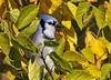 "<div class=""jaDesc""> <h4>Blue Jay in Mulberry Tree - October 20, 2010 </h4> <p>  The Blue Jays contrast nicely with the fall color of our mulberry tree. Some of the Blue Jays like to hide among the leaves while they wait their turn to grab an un-shelled peanut. It gets a bit crowded with 24 of them all trying to get their fair share.</p> </div>"