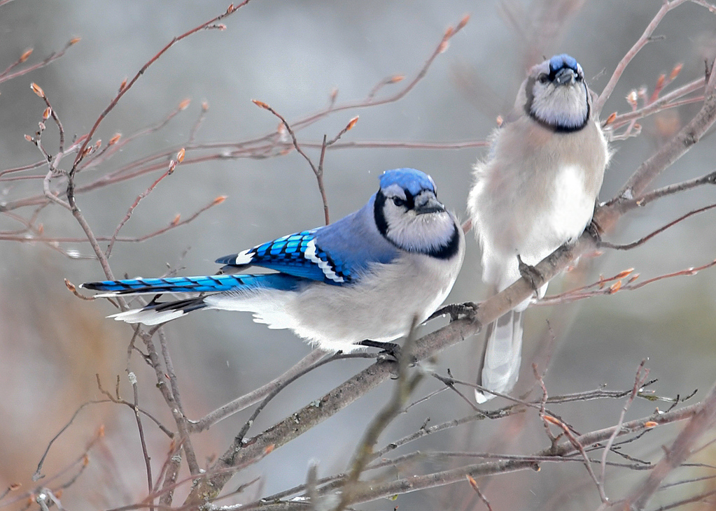 "<div class=""jaDesc""> <h4>Blue Jays in Love - March 3, 2018</h4> <p>Even though it is still officially winter, it is courtship time for the Blue Jays.  They have already started choosing their mates. </p></div>"