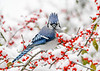 "<div class=""jaDesc""> <h4>Blue Jay - Wind Blown Crest - November 8 2019</h4> <p></p></div>"